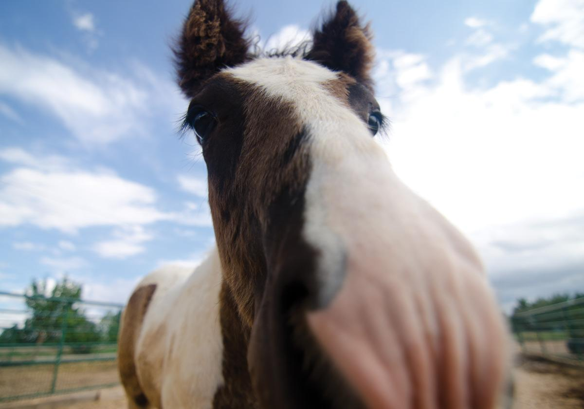 Cormac, a young horse owned by Charlie Cox, rushes the camera inside his stall near Wellington, Colo. Photo: Nic Turiciano