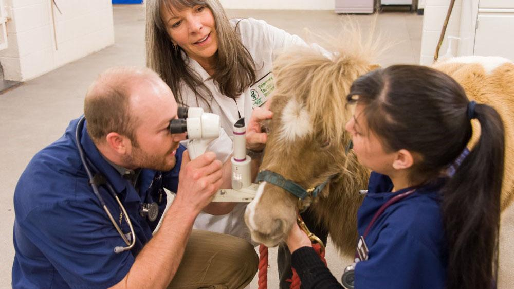 Colorado State University veterinary students Adam Nylund and Stacey Rael and Ophthalmologist Dr. Cynthia Powell examine Sunggles, a miniature horse, during a checkup on Friday at the CSU Veterinary Teaching Hospital. Snuggles, who is 7, lost her left eye when she was a month old to an infection.