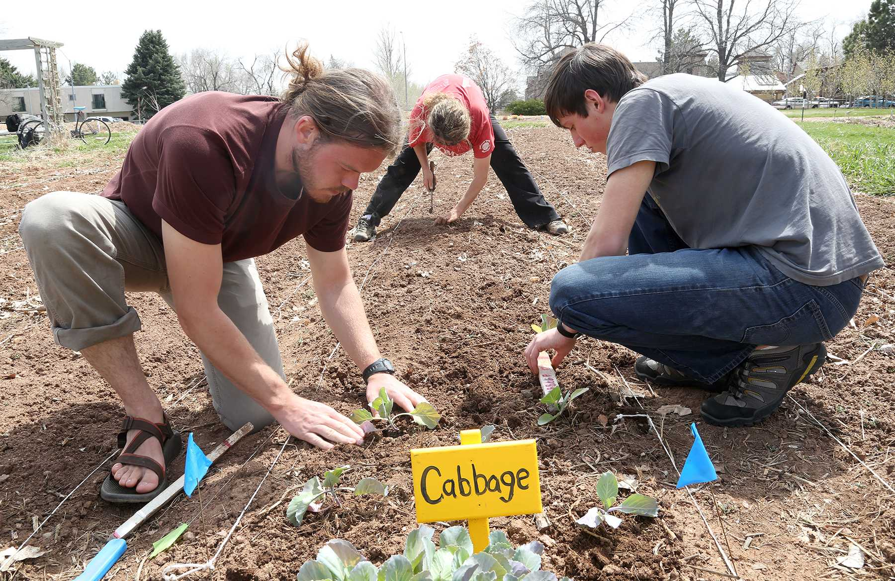 Junior wildlife biology major Brent Pease, left, Agriculture graduate student Amy Kousch, center, and sophmore soil and crop science major Colton Heeney plant cabbage in the student sustainable farm yesterday afternoon. The student run farm grows a variety of fruits, vegtables and other plants and has done so for the last 16 growing seasons.