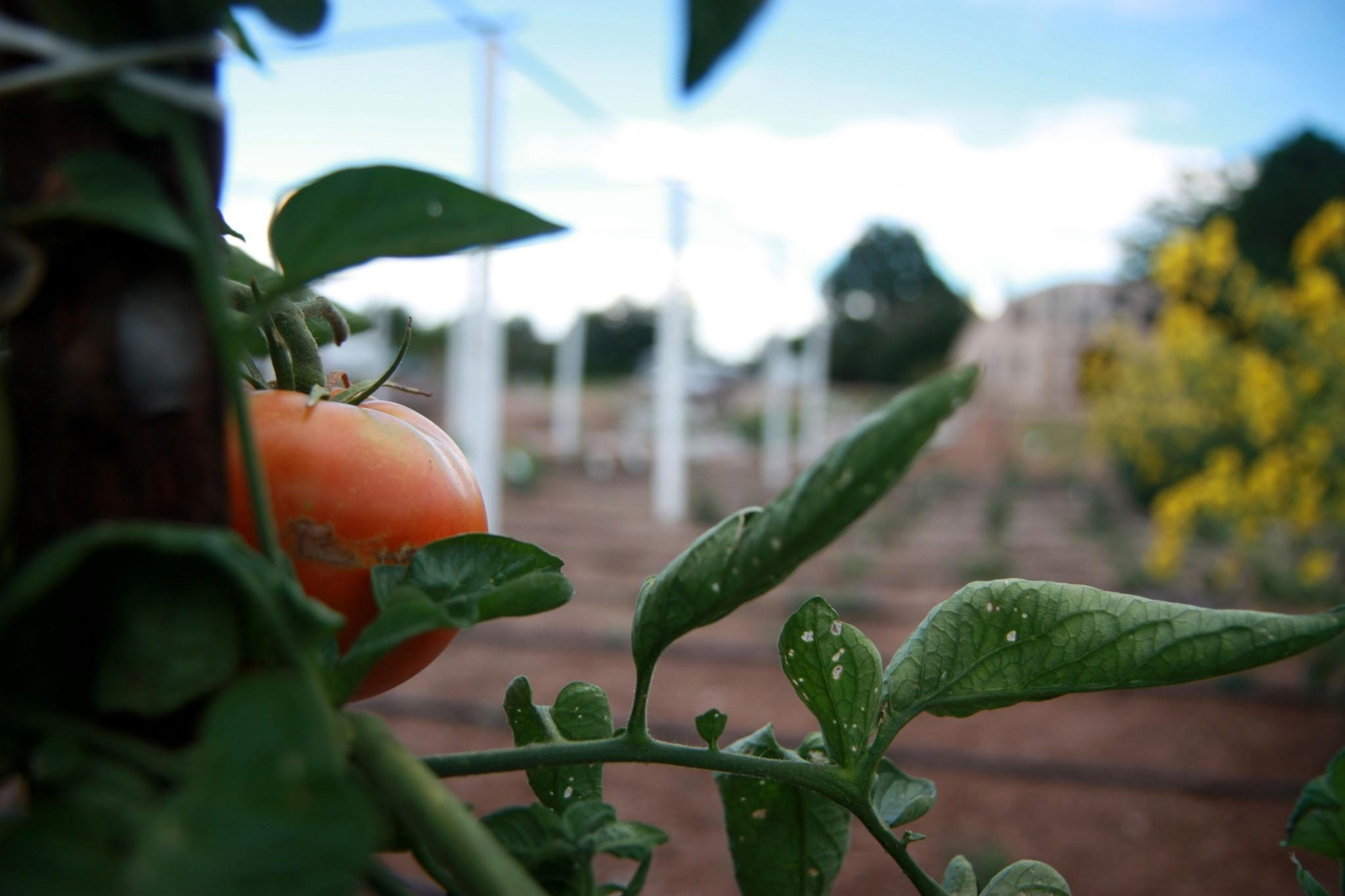 The sustainable farm, gardens, and greenhouses on the North West side of campus, greatly enjoyed by CSU students, may soon disappear with the construction of the new stadium.