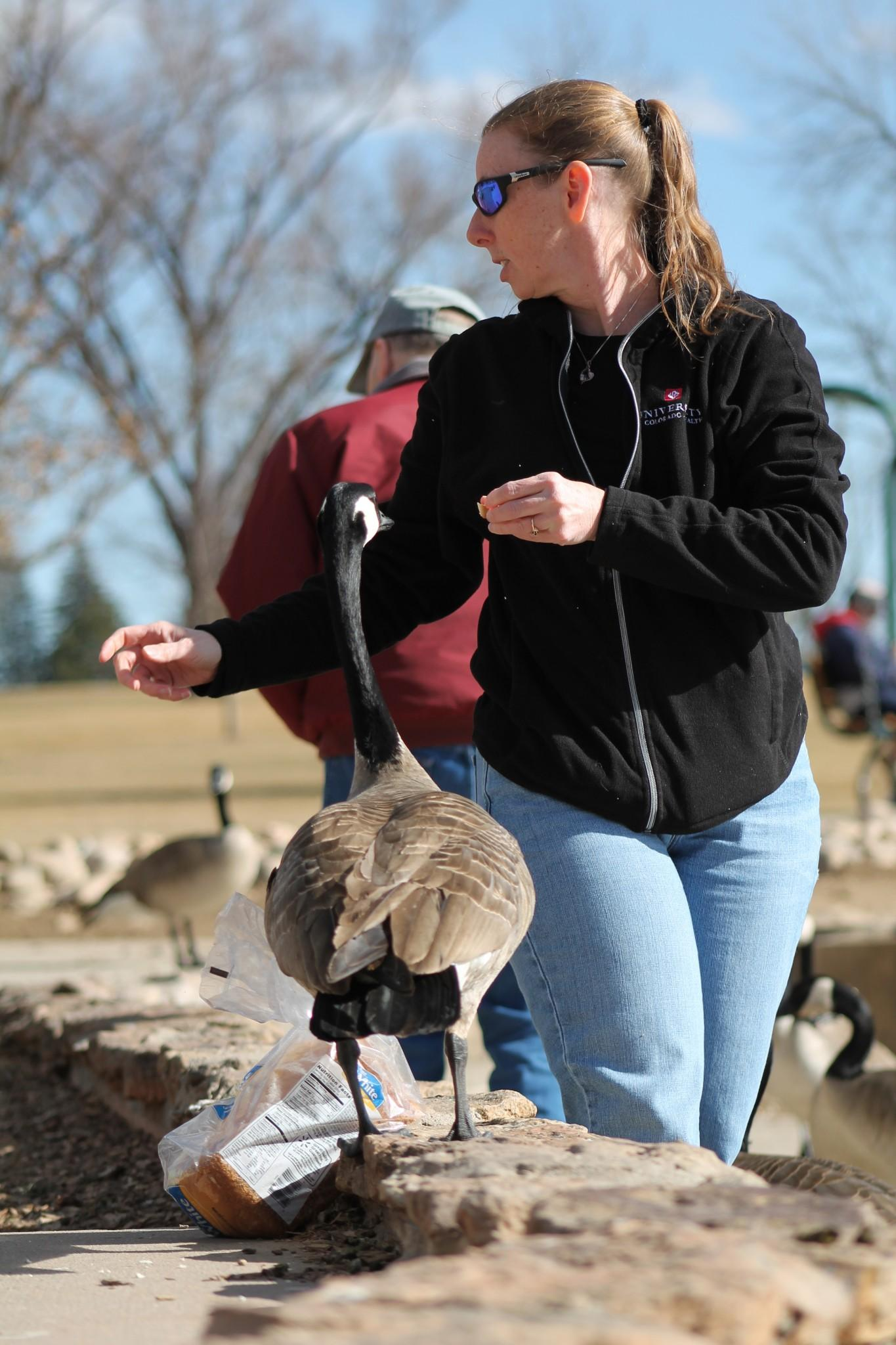 A goose lurks as Karen Hanson, a 37-year Fort Collins resident, throws bread. When the geese come Hanson ventures to City park at least four times a week to feed them.