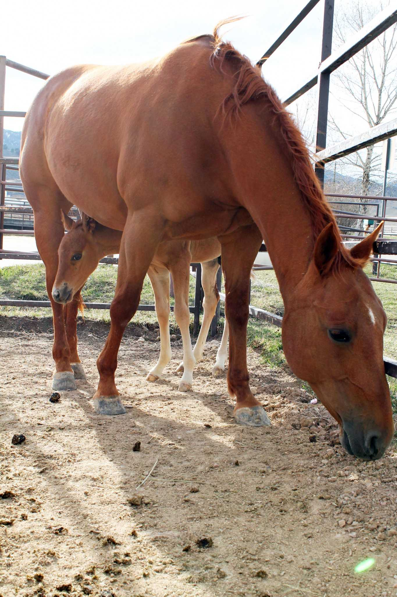 A fourteen-day-old foal peeks out from under its mother after nursing at the CSU Equine Reproduction Center. The reproduction center houses pregnant mares and oversees the birth of baby horses.