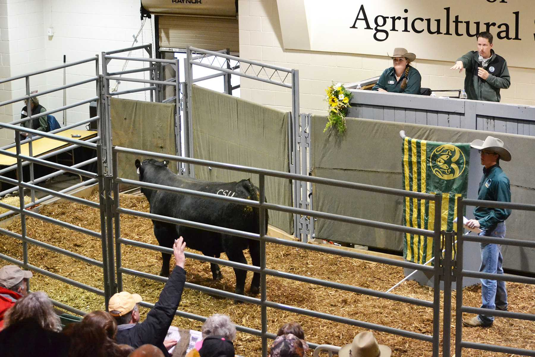 Seedstock Merchandising Team member Kim Rounds assists Dr. Jason Ahola during CSU's 38th Annual ARDEC Bull Sale. Meanwhile, Seedstock Merchandising Team member Carson Guenzi moves the bulls around the pen pointing out the current lot number to buyers in the audience.