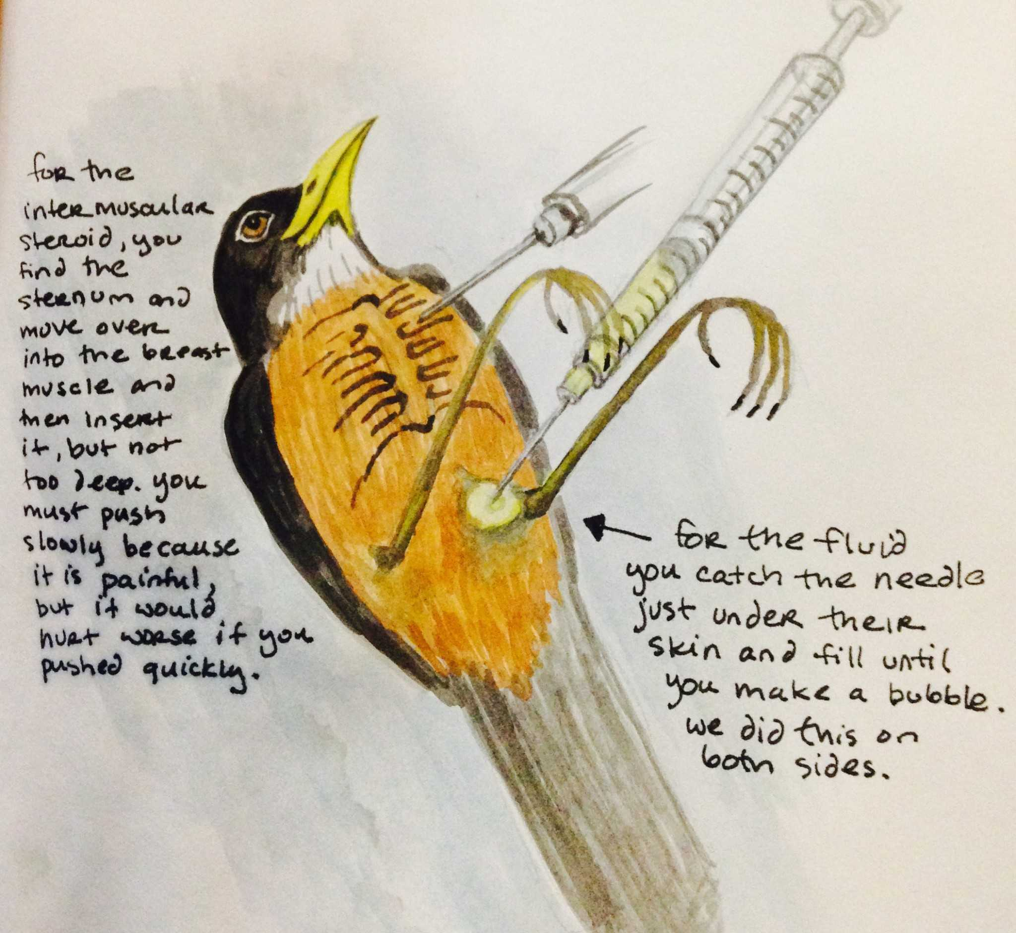 Watercolor sketch of how to do IM andsubcutaneous injections in an American Robin by Victoria Dixie Crowe. (2002)