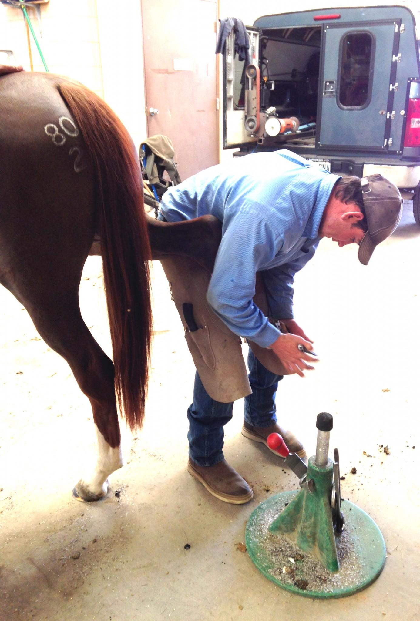 A farrier trims the right hind hoof at the CSU Equine Center. Photo credit Dixie Crowe