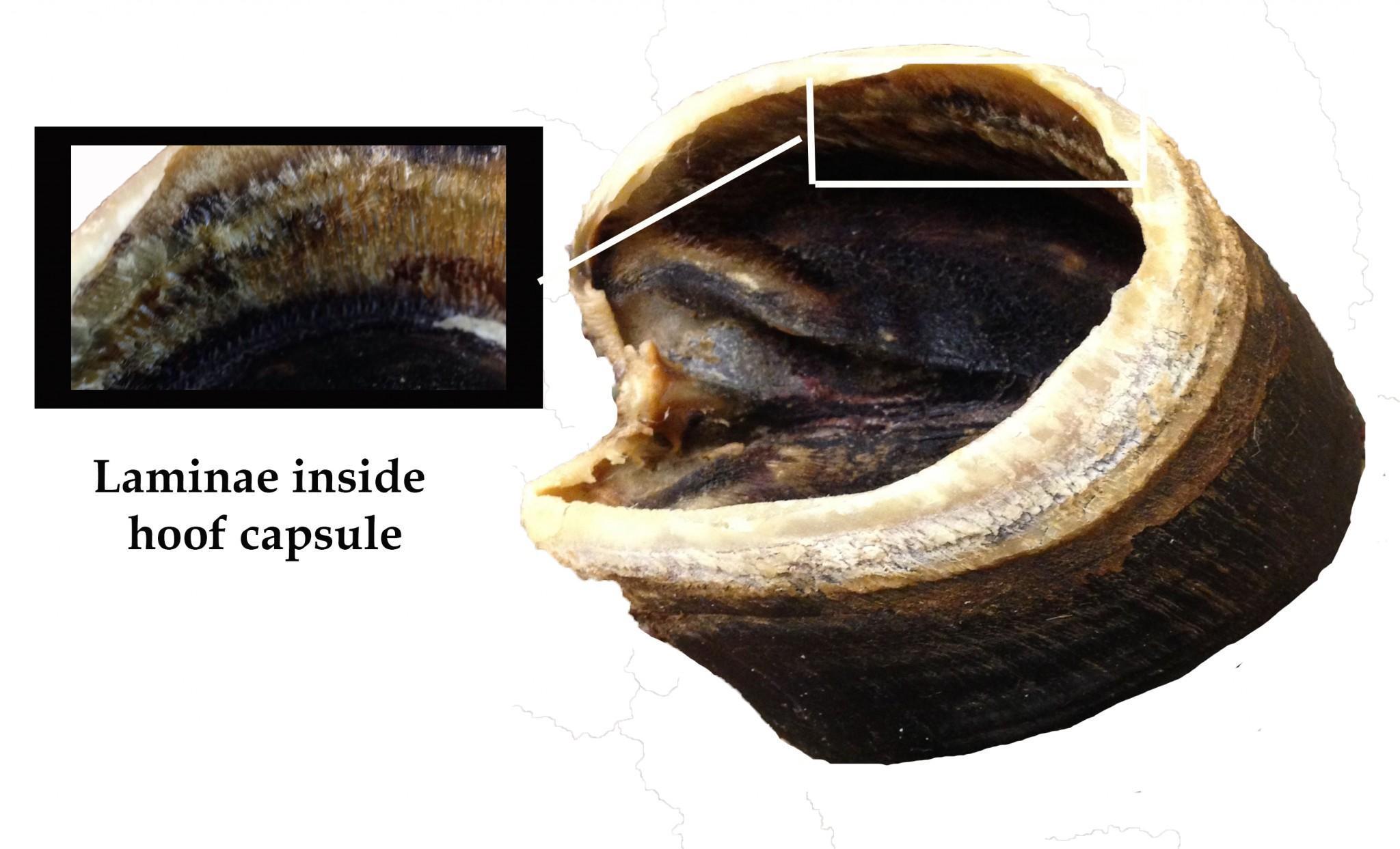 The finger-like laminae inside the hoof capsule look like whale baleen. Photo credit Dixie Crowe