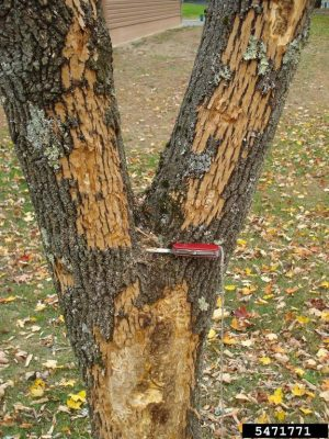 An infested ash tree with evidence of emerald ash borer activity. (Photo Courtesy: Kenneth R. Law, USDA APHIS PPQ, Bugwood.org)