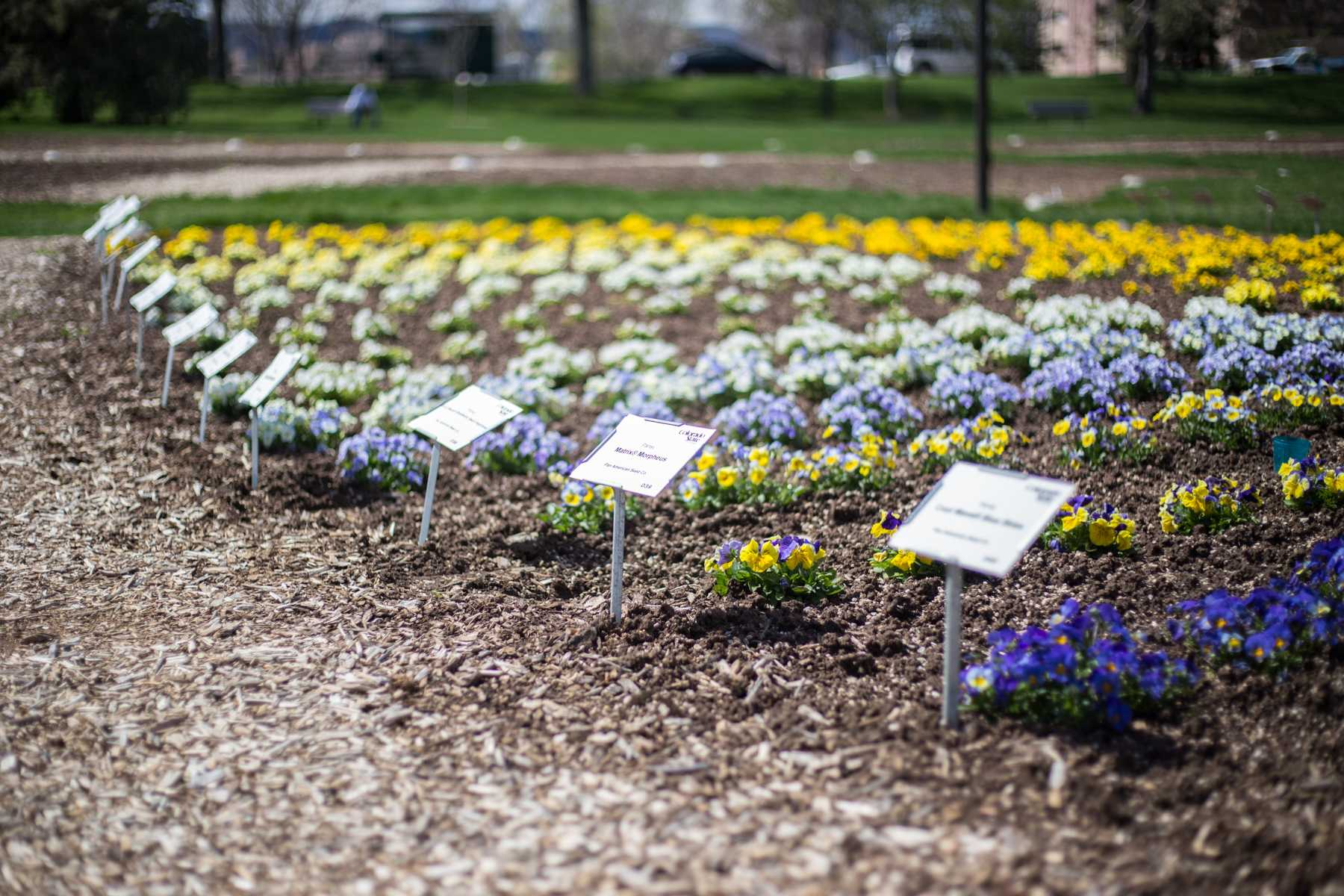 Photos spring flowers planted at the annual flower trial garden photos spring flowers planted at the annual flower trial garden izmirmasajfo