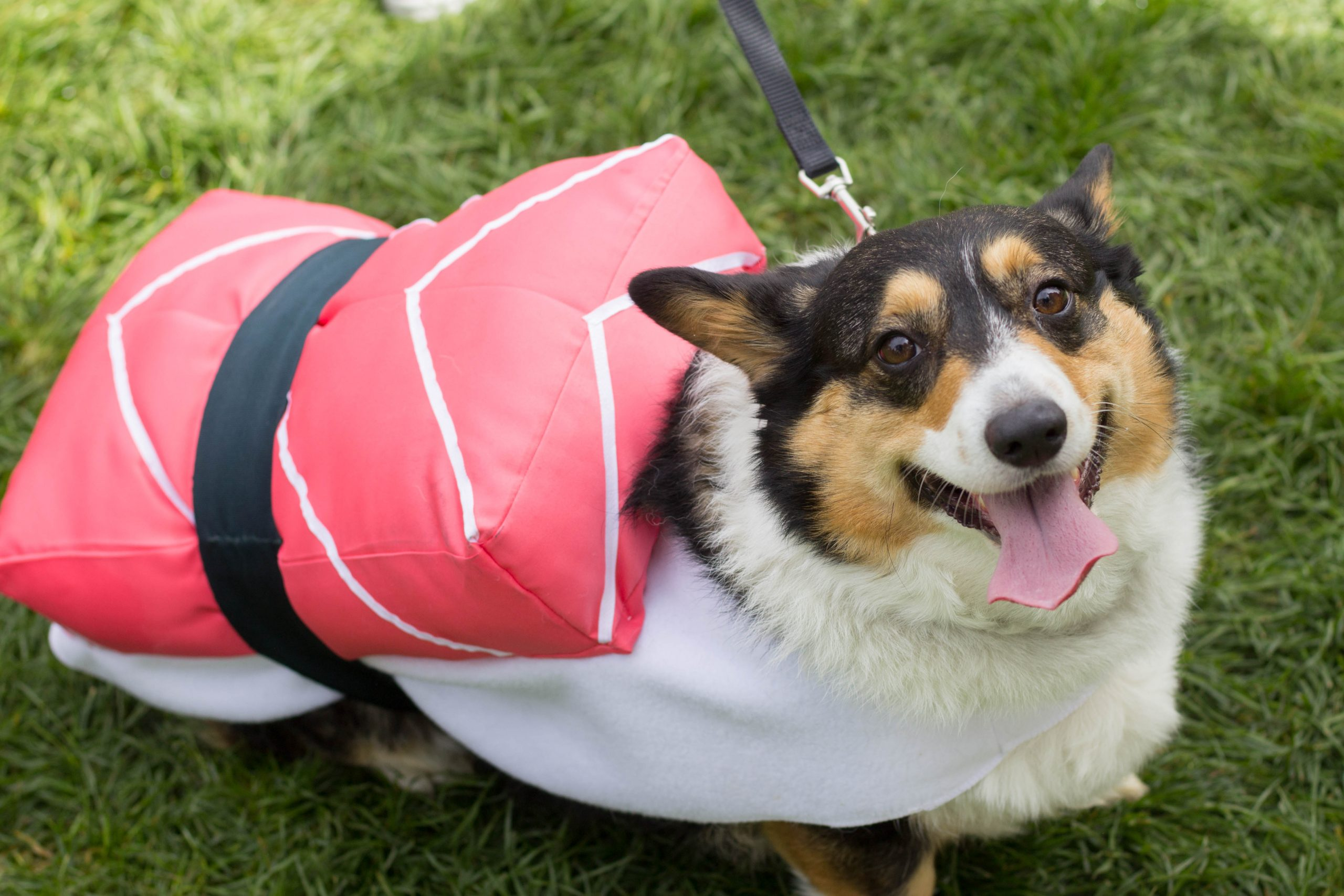 costumed corgis parade through fort collins the rocky mountain